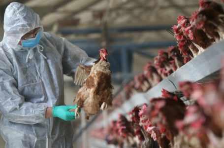Армянская инспекция по безопасности пищевых продуктов запретила ввоз мяса птицы из южных российских провинций Ставрополя и Краснодара